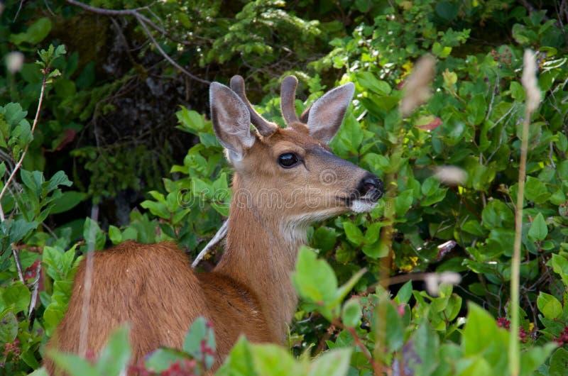Het jonge mannelijke hert met zwarte staart kijkt omhoog van BC het doorbladeren op salal bessen in kust stock foto