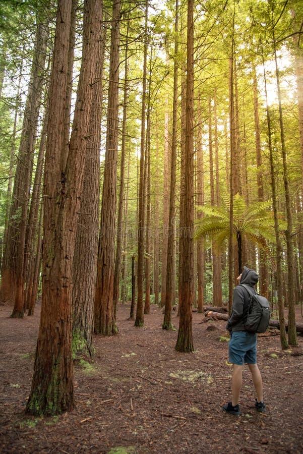 Het jonge mannelijke reiziger hoody dragen kijkt omhoog in Californische sequoiabos stock afbeelding