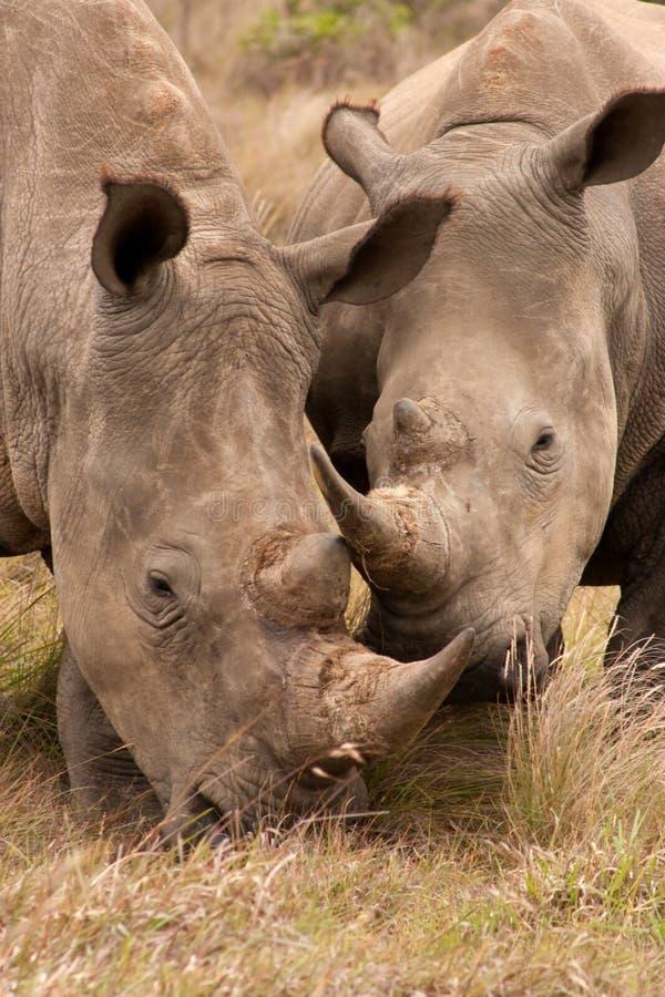 Het jonge Paar van de Rinoceros stock afbeelding