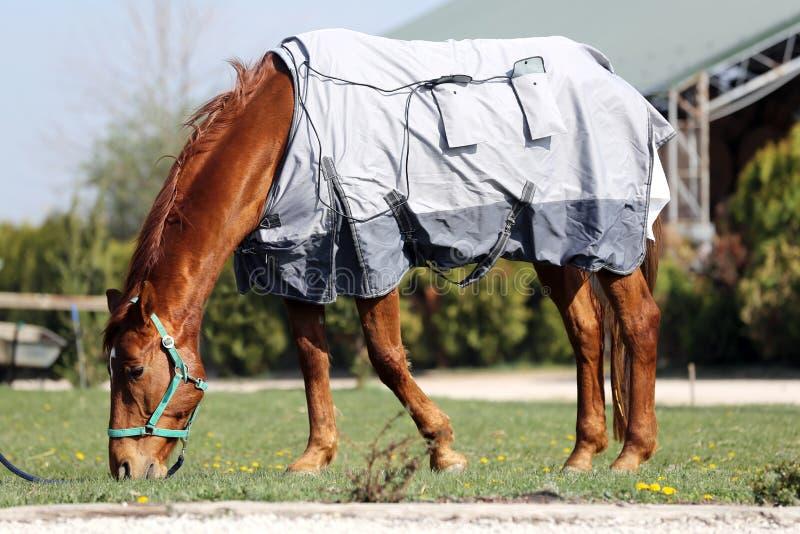 Het jonge paard weiden in de nieuwe magnetische deken bij landelijke boerderij stock fotografie