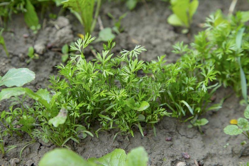 Het jonge peterselie groeien in de tuin, groene peterseliespruiten, geep stock fotografie