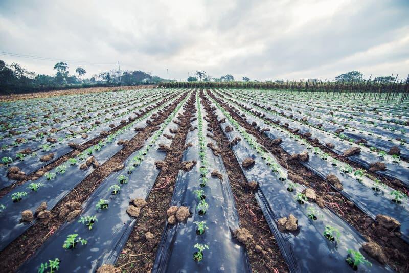 Het jonge plantaardige groeien in de tuin stock foto's