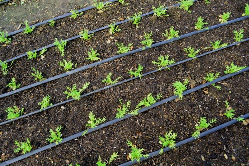 Het jonge plantaardige groeien in serre stock foto's