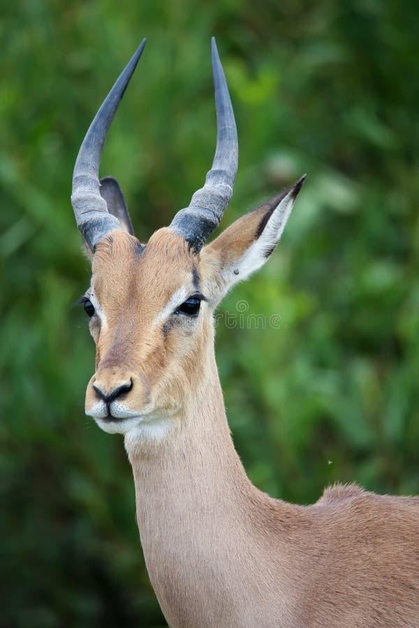 Download Het Jonge Portret Van De Impalaantilope Stock Foto - Afbeelding bestaande uit safari, struik: 39109426
