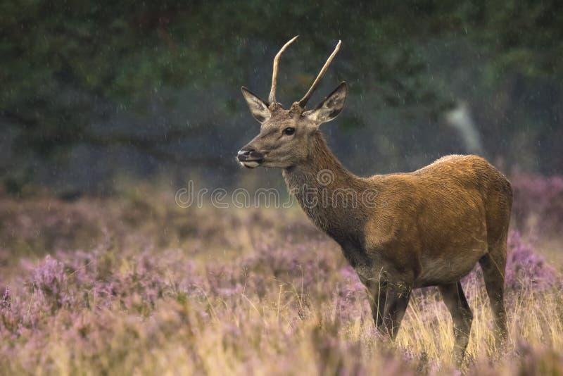 Het jonge rode herten mannelijke rutting royalty-vrije stock foto's