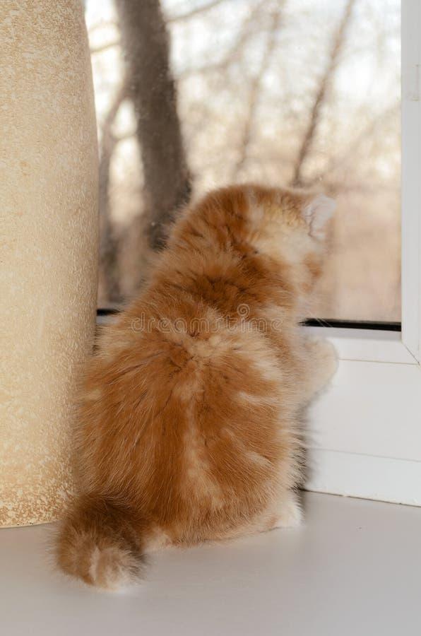 Het jonge rode katje zit en kijkt uit het venster stock fotografie