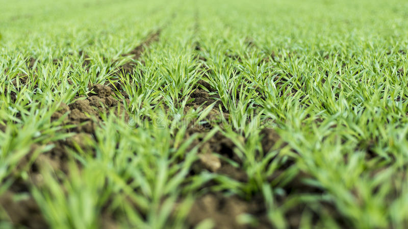 Het jonge tarwe groeien in de gebieds keurige rijen stock afbeeldingen