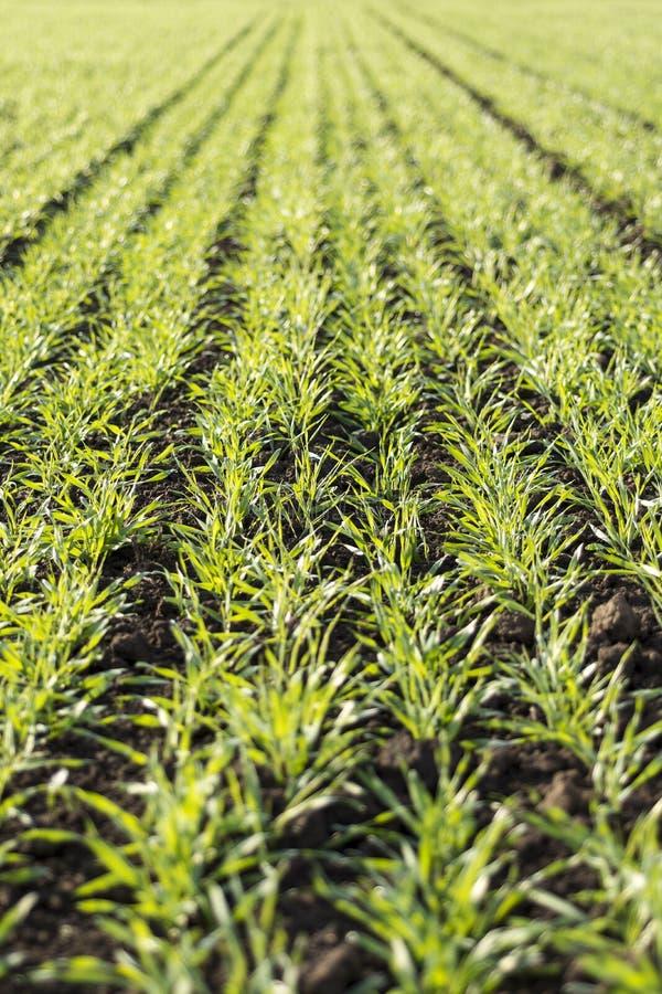 Het jonge tarwe groeien in de gebieds keurige rijen royalty-vrije stock foto's