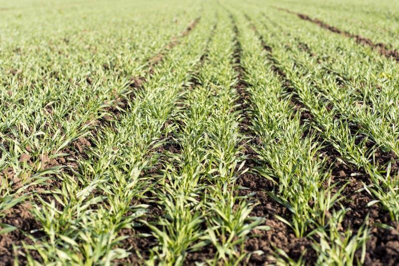 Het jonge tarwe groeien in de gebieds keurige rijen stock afbeelding