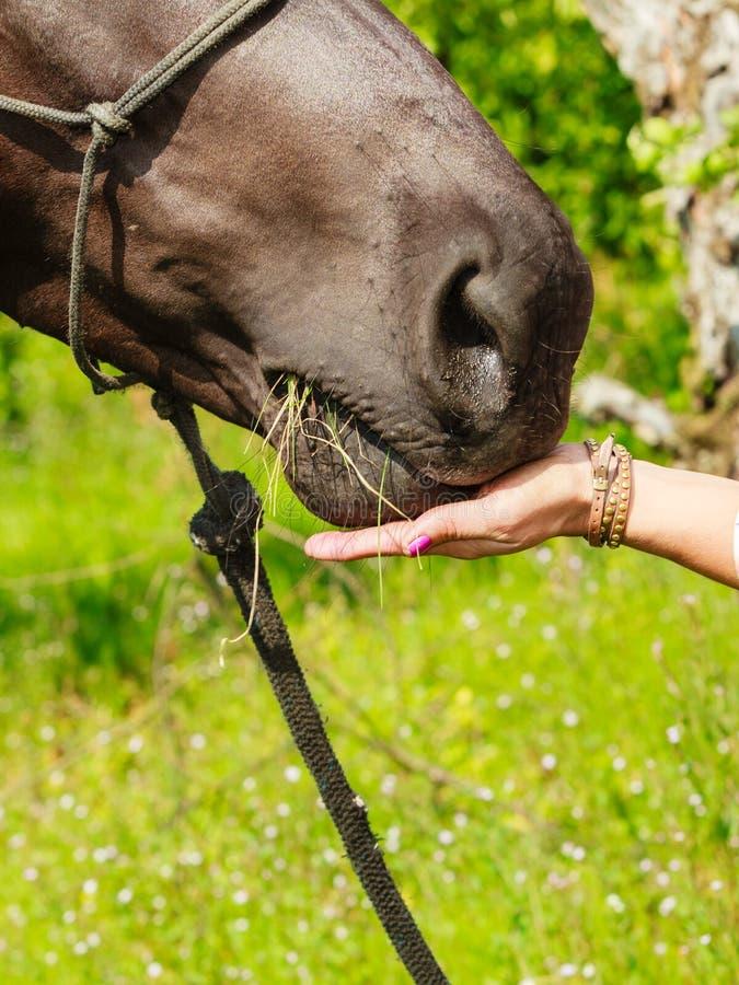 Het jonge voedende paard van het vrouwenmeisje royalty-vrije stock fotografie