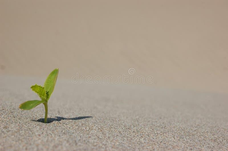 Het jonge zaailing groeien in een woestijnzand Sluit uiterst omhoog met ondiepe DOF stock afbeeldingen