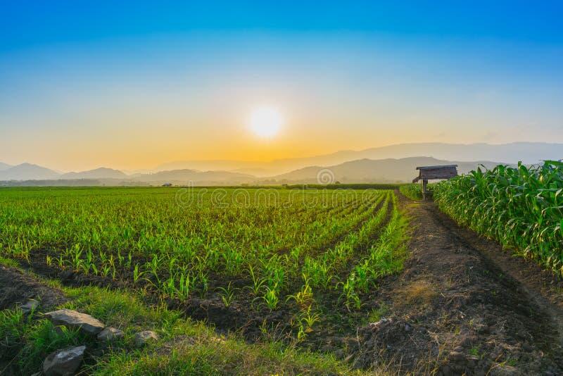 Het jonge zoete maïsgebied bij tuin en het licht van Thailand de landbouw glanst zonsondergang in de avond stock foto