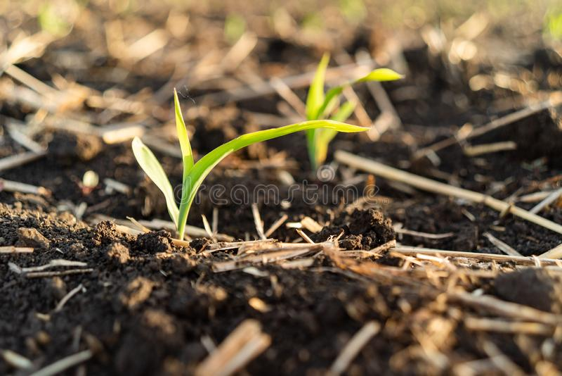 Het jonge zoete ma?s groeien op het gebied Jonge graaninstallaties royalty-vrije stock fotografie