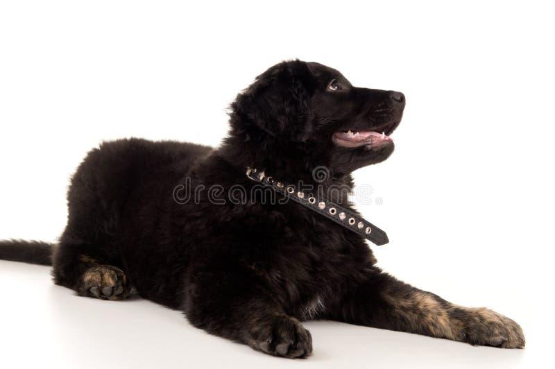 Het jonge zwarte het puppy van Labrador liggen royalty-vrije stock foto's