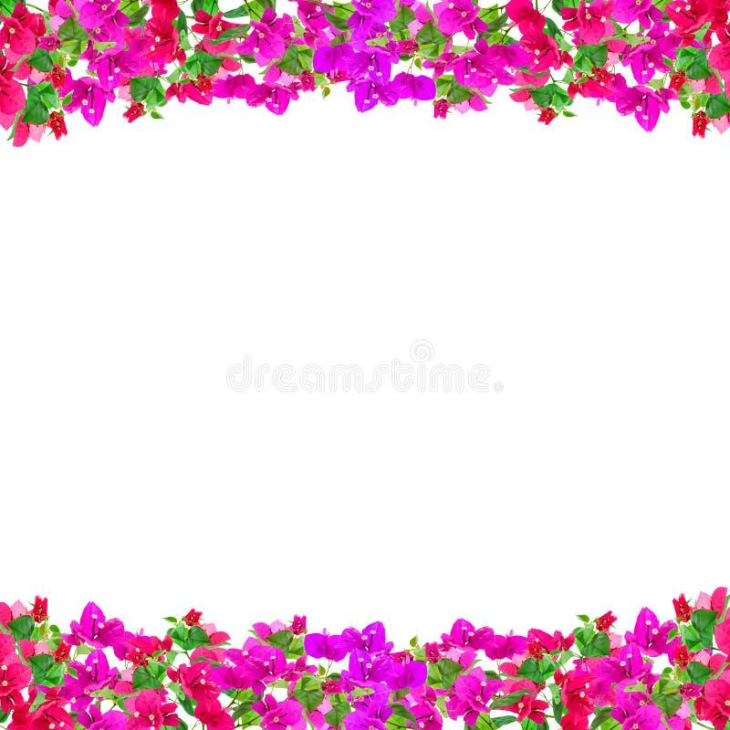 Het kader van de bougainvilleabloem op witte achtergrond, Provinciale flowe royalty-vrije stock foto's