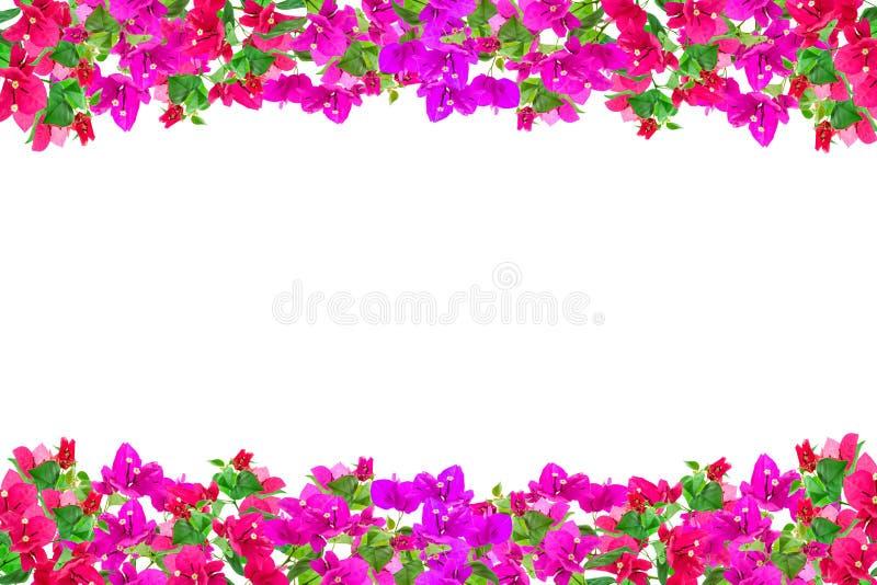 Het kader van de bougainvilleabloem op witte achtergrond, Provinciale flowe royalty-vrije stock afbeeldingen