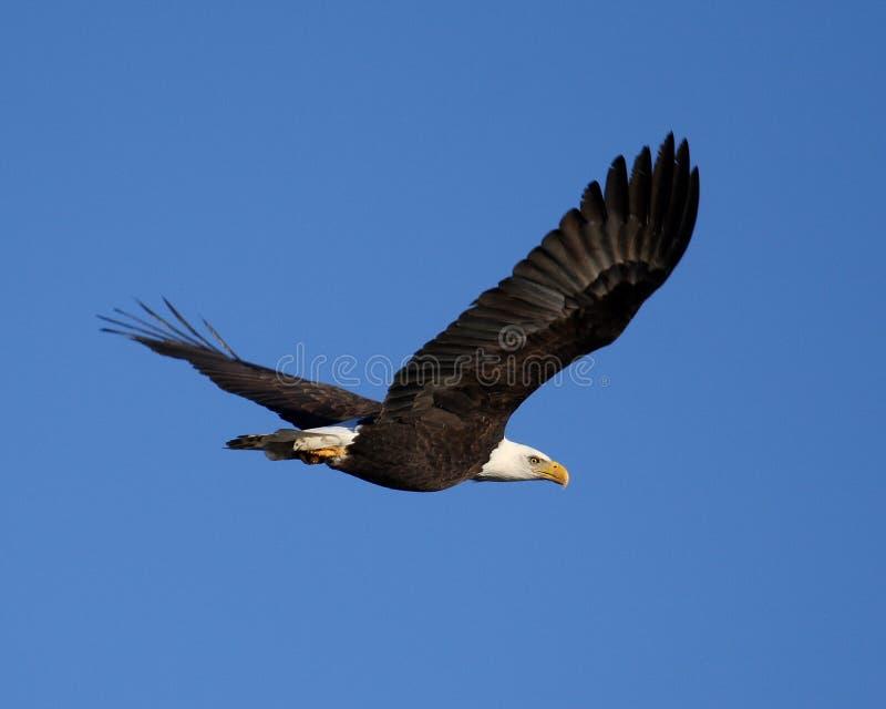 Het kale adelaar vliegen stock foto