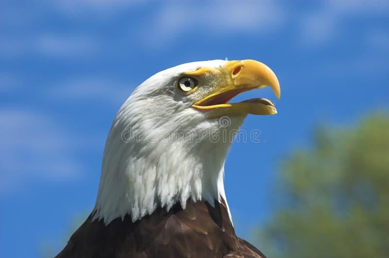 Kaal Eagle Profile royalty-vrije stock afbeelding