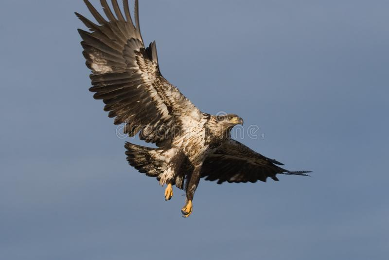 Kaal Eagle Flying royalty-vrije stock fotografie