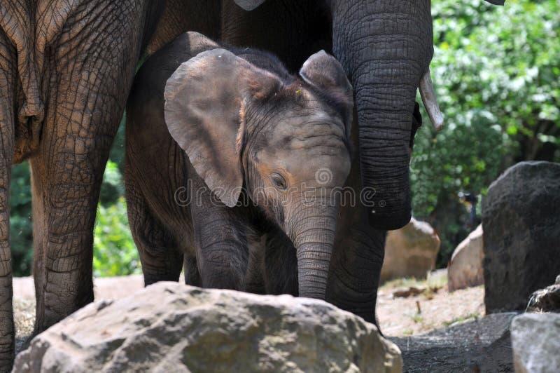 Het Kalf en de Moeder van de olifant royalty-vrije stock foto