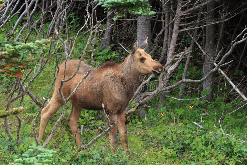 Het Kalf van Amerikaanse elanden in Newfoundland royalty-vrije stock fotografie