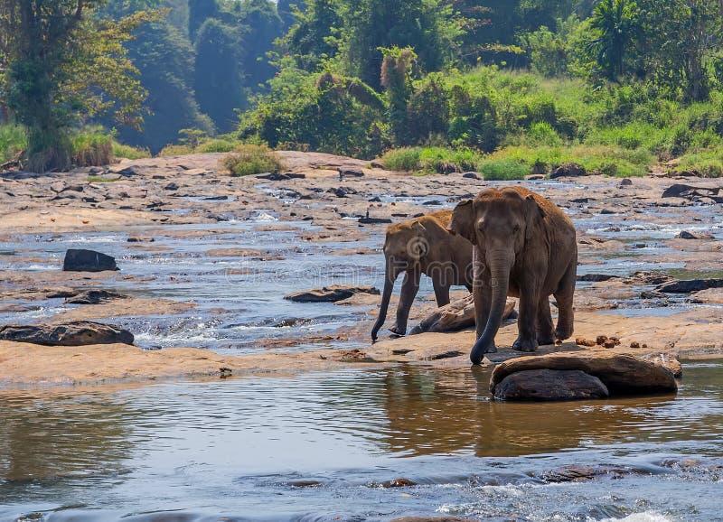 het kalf van de babyolifant na zijn moeder stock fotografie