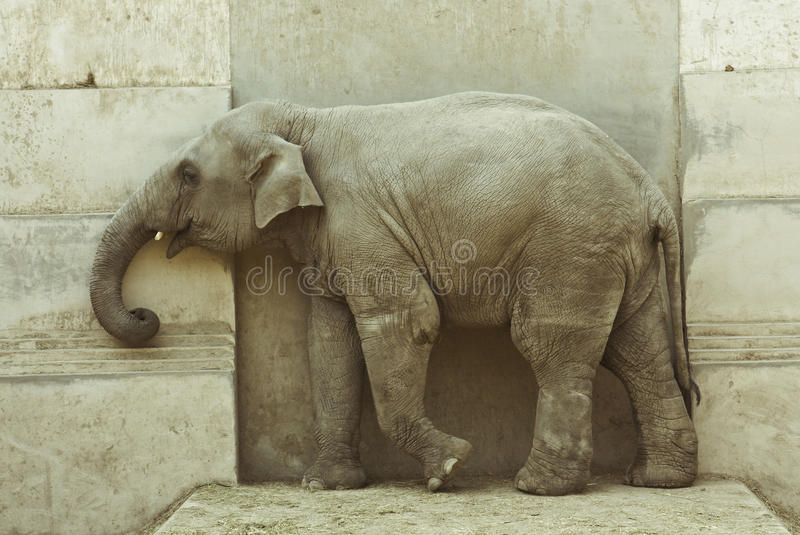 Het kalf van de olifant stock foto's