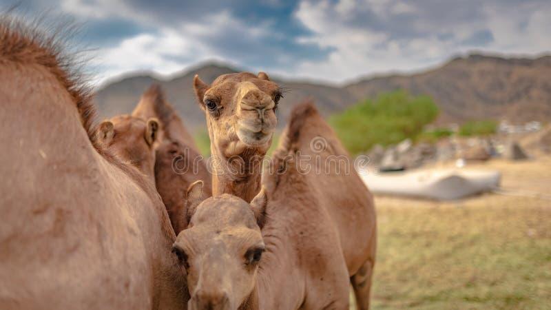 Het kameelleven in de Woestijn stock foto