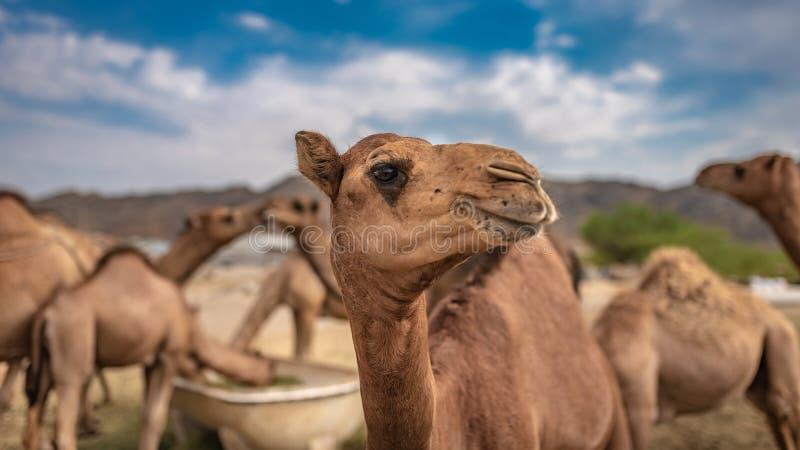 Het kameelleven in de Woestijn stock afbeelding