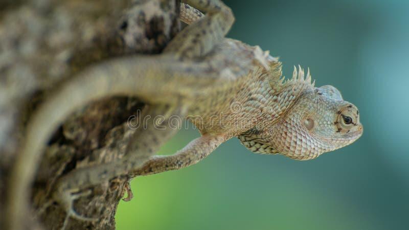 Het kameleon van Ceylon op de boom stock foto