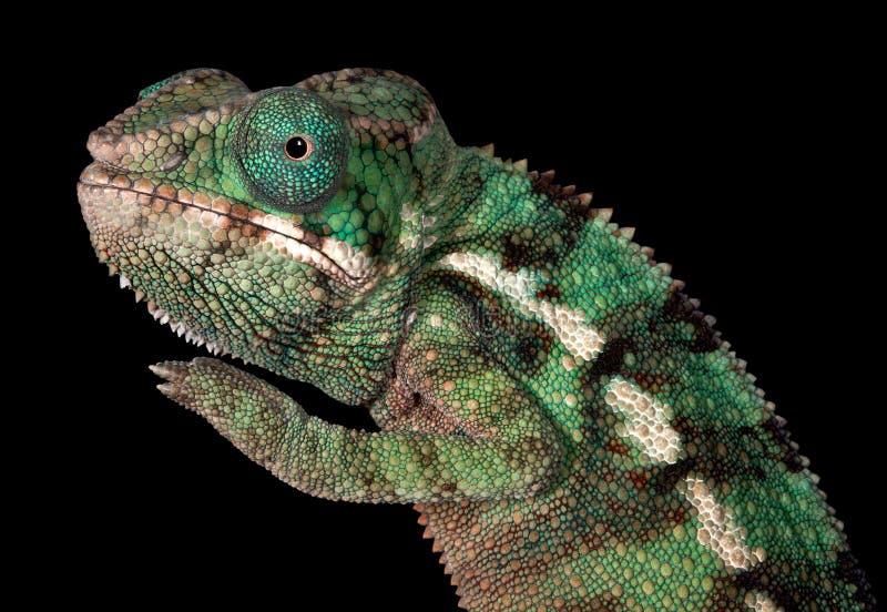Het Kameleon van de Panter van de baby stock foto's