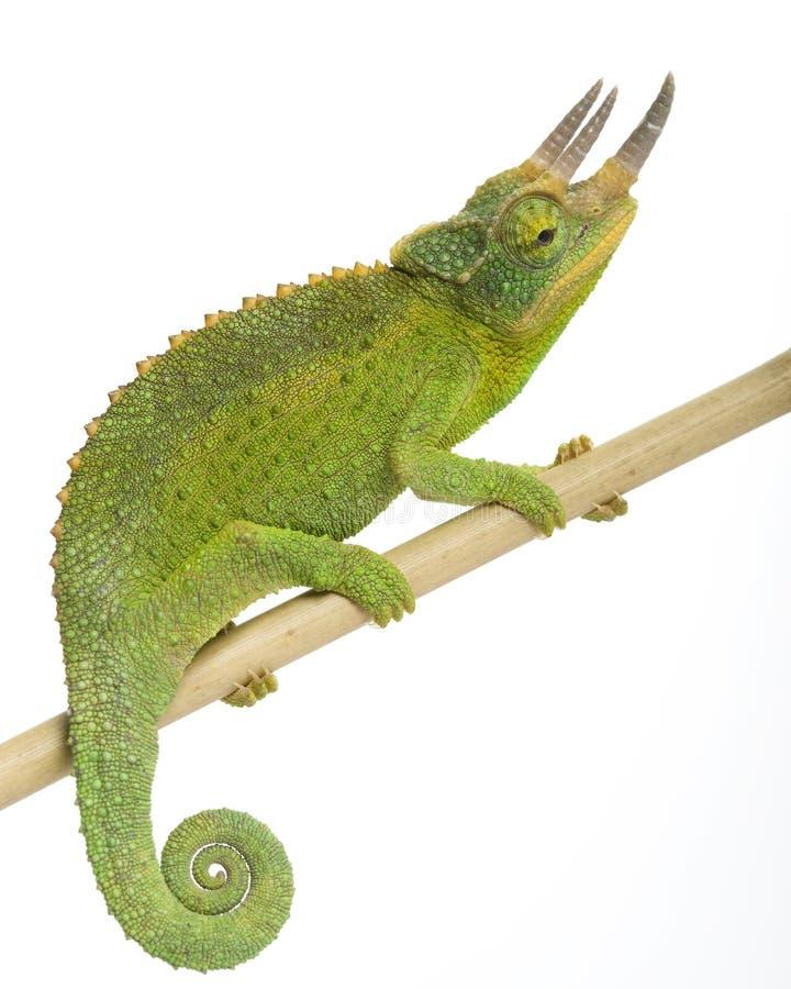 Het Kameleon van Jackson?s royalty-vrije stock afbeeldingen