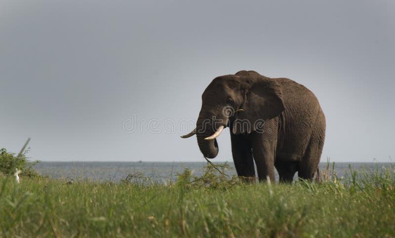 Het Kanaal Oeganda van Kazinga - Olifant royalty-vrije stock afbeeldingen