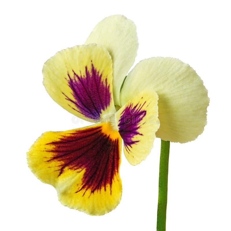 Het karmijn gele die altviool van de bloemaubergine op witte achtergrond wordt geïsoleerd Close-up royalty-vrije stock afbeeldingen