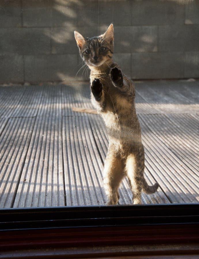 Het katje achter zonneblinden wil naar huis gaan stock foto's