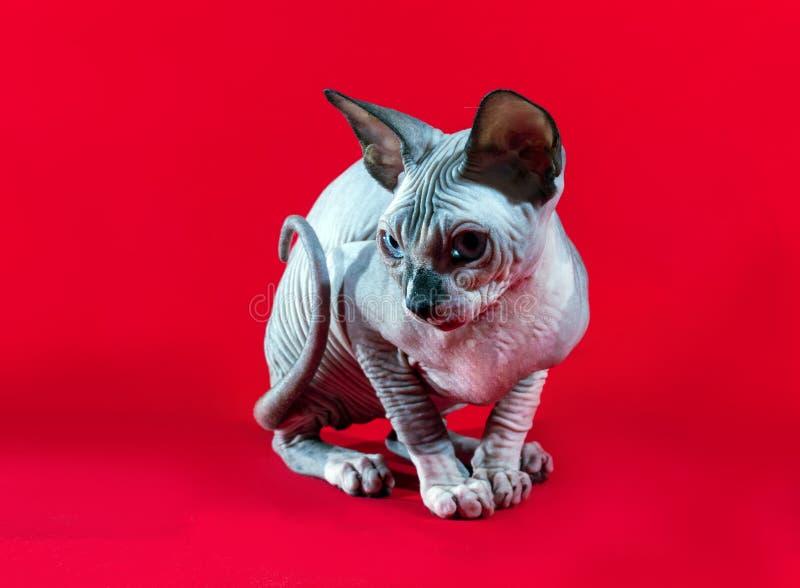 Het katje Canadese Sphynx royalty-vrije stock fotografie