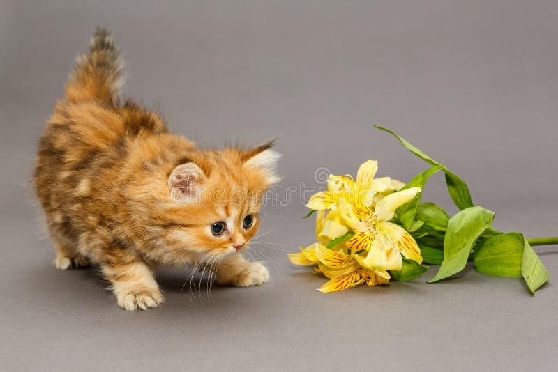 Het katje en de bloem van Shaggy British royalty-vrije stock fotografie