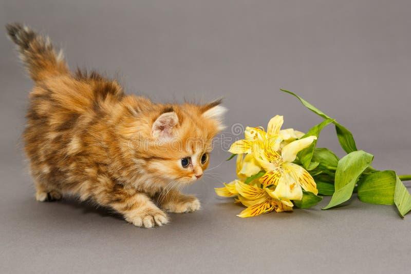 Het katje en de bloem van Shaggy British stock fotografie