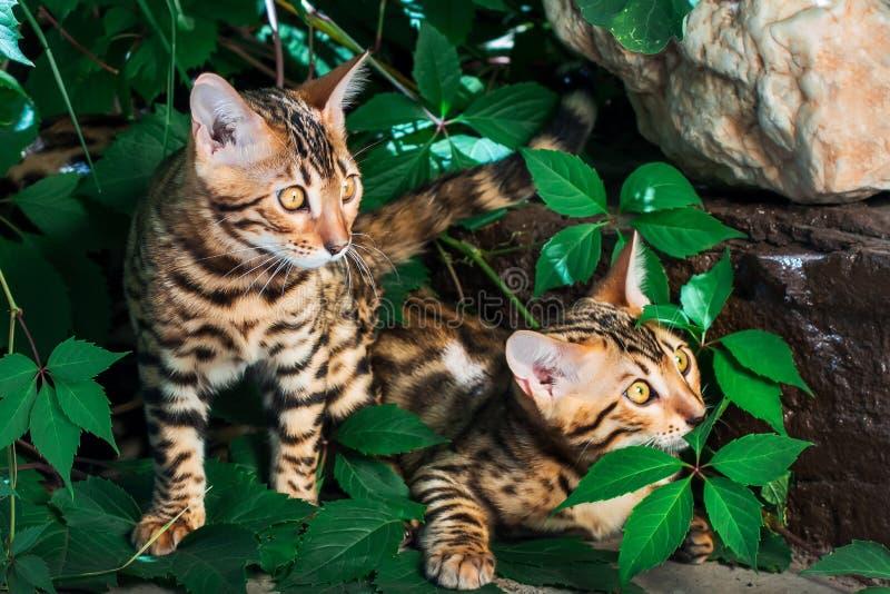 Het katje van Bengalen alleen in openlucht stock foto