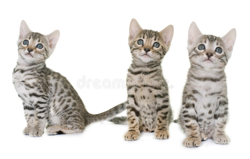 Het katje van Bengalen in studi stock afbeelding
