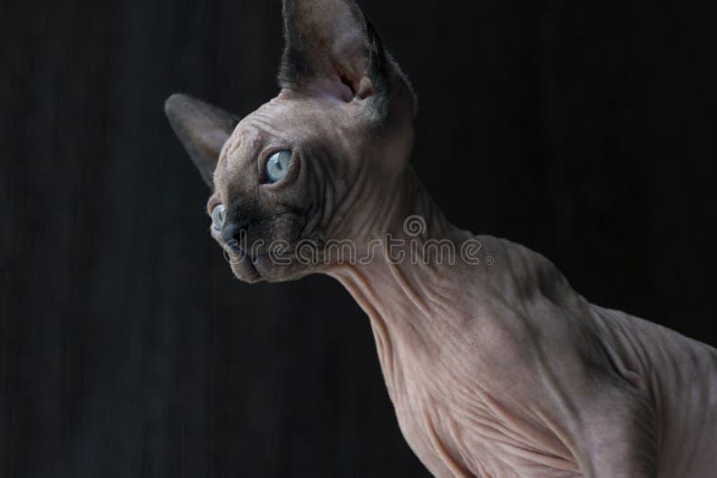 Het katje van Canadese Sphynx ziet neer eruit, blauwe ogen, kale hairle royalty-vrije stock fotografie