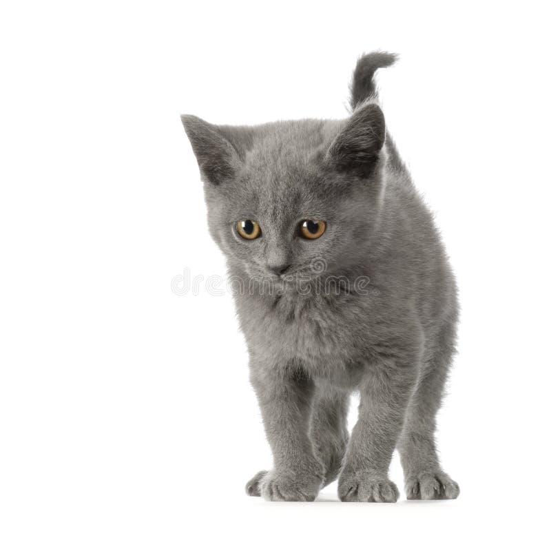 Het Katje van Chartreux stock fotografie