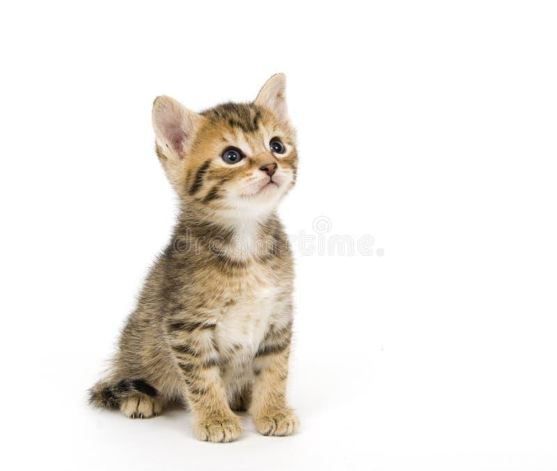 Het Katje van de gestreepte kat stock foto