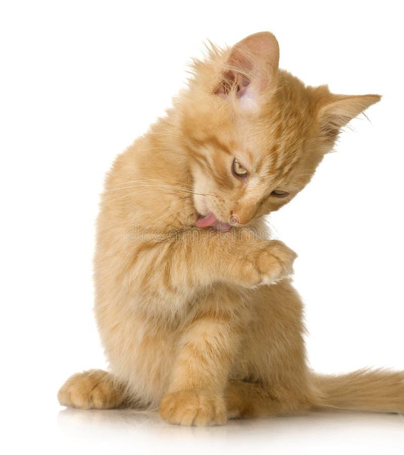 Het katje van de Kat van de gember royalty-vrije stock foto