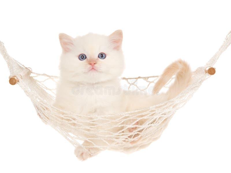 Het katje van het puntRagdoll van de room in hangmat royalty-vrije stock afbeelding