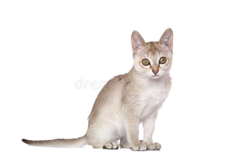 Het katje van Singapura stock afbeelding