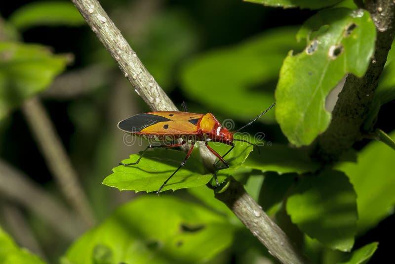 Het katoen stainer op takken wordt beschouwd als een belangrijk insect stock fotografie