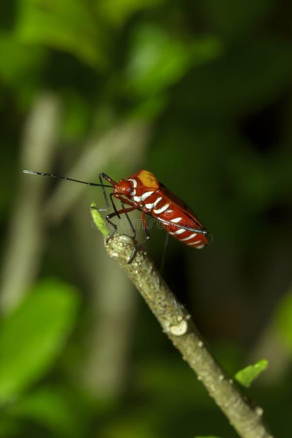Het katoen stainer op takken wordt beschouwd als een belangrijk insect stock foto