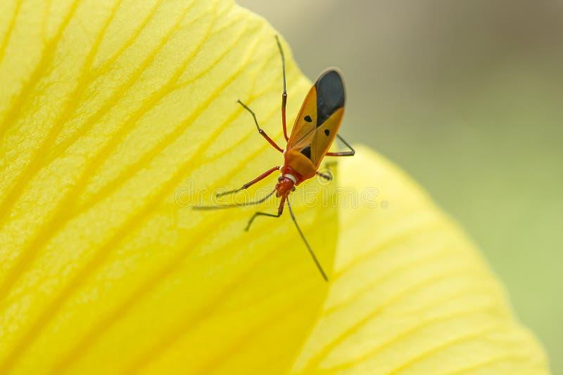 Het katoenen Insect van Stainer op de bloemblaadjes van gele bloemen stock afbeeldingen