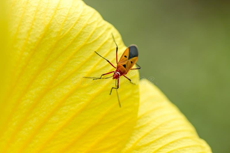 Het katoenen Insect van Stainer op de bloemblaadjes van gele bloemen royalty-vrije stock foto